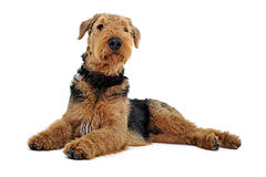 Airedale Terrier lying on the white studio floor and looking up. Way Stock Photography