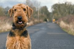 Airedale terrier on open country road. Airedale terrier poses on a country road in a rural setting stock photos