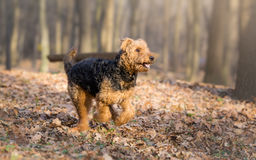 Airedale Terrier pies Obrazy Royalty Free