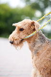 Airedale Terrier playing with rope toy. Close-up in summer royalty free stock photography
