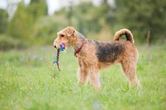 Airedale Terrier playing with rope toy. In summer royalty free stock photography