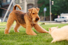 Airedale terrier playing with white cat. Funny grown-up brown and tan haired airedale terrier playing with white cat on a green lawn. Outdoors with natural Royalty Free Stock Photography