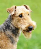 Airedale Terrier portrait. Airedale Terrier outdoors portrait over blurry background stock photography