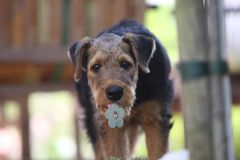 Airedale Terrier puppy Royalty Free Stock Photos