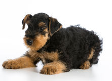 Airedale terrier puppy Stock Images