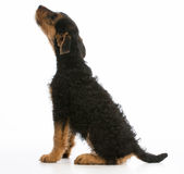 Airedale terrier Royalty Free Stock Photos