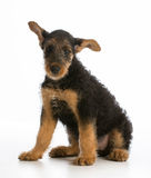 Airedale terrier puppy. Sitting on white background Royalty Free Stock Photo
