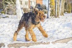 Airedale Terrier que juega en una nieve imagen de archivo
