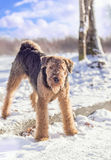 Airedale Terrier que juega en una nieve fotos de archivo libres de regalías
