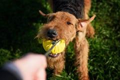 Airedale Terrier que juega la bola imagenes de archivo