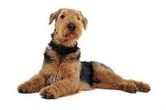 Airedale Terrier que miente en el piso blanco del estudio y que mira para arriba fotografía de archivo