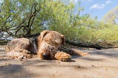Airedale Terrier que se relaja en la sombra en una playa imágenes de archivo libres de regalías