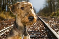 Airedale terrier on railroad tracks. An airedale terrier dog posing on an abandoned railroad tracks stock photo