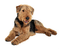 Airedale Terrier relaxing on the white studio floor. Airedale Terrier relaxing on the white floor stock photos