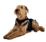 Airedale Terrier se trouvant sur le plancher blanc de studio Photos stock