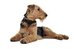Airedale Terrier se trouvant sur le plancher blanc de studio et regardant l'installation Photos libres de droits