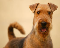 Airedale terrier set to a point. Grown-up brown and black haired purebred airedale terrier withd eyes set on viewer is come to a point. Portrait. Beige Stock Photography