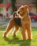 Airedale terrier set to a point outdoors Stock Images