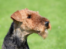 Airedale Terrier  in the spring garden. Typical Airedale Terrier  in the spring garden Stock Image