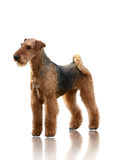 Airedale Terrier stand isolated on white background. Black brown Airedale Terrier stand isolated on white background royalty free stock photo