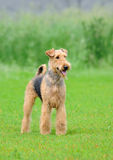Airedale Terrier. Standing outdoors over blurry background royalty free stock image