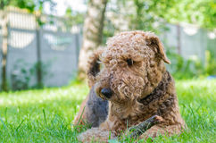Airedale Terrier is a strong and muscular dog of medium size Stock Image