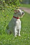 Airedale terrier in summer Stock Photo