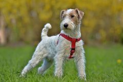 Airedale terrier in summer Stock Image