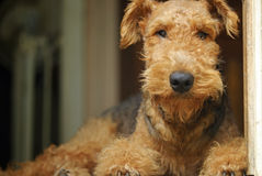 Airedale Terrier teddy bear pet dog ~ king of the terriers Stock Images