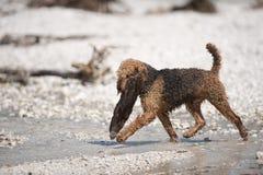 Airedale Terrier trägt großes Holz von einem Wasser Stockfoto