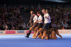 Airedale Terriers in de showring Royalty-vrije Stock Foto's