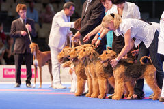 Airedale Terriers in the show ring. July 8th, 2011 / Paris, France. Airedale Terriers in show-stack  at the World Dog Show 2011 Royalty Free Stock Photo