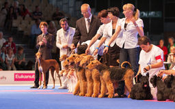 Airedale Terriers in the show ring Royalty Free Stock Photography