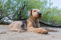Airedale viejo Terrier realaxing en la sombra en una playa imagenes de archivo