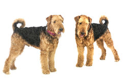Airedales Royalty Free Stock Photography