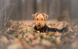 Airedaleterrier Terrier royaltyfri foto