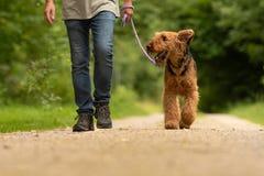 Airedaleterrier Terrier Hundföraren går med hans lydiga hund på vägen i en skog royaltyfria foton