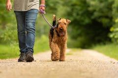 Airedaleterrier Terrier Hundföraren går med hans lydiga hund på vägen i en skog royaltyfria bilder