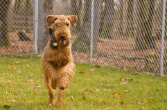 Airedaleterrierhund, der draußen läuft stockbild