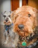 Airedaleterrierhund mit Minischnauzer lizenzfreies stockbild