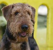 Airedaleterrierhund am Park stockfotografie