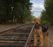 Airedaleterrierhund steht neben Schienenstraßenspur lizenzfreies stockfoto