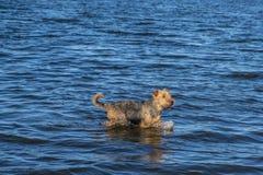 Airedaleterrierterrierhund som kommer ut ur sjön arkivfoto