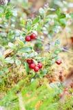 Airela Arbustos de bagas maduras da floresta Imagens de Stock