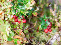 Airela Arbustos de bagas maduras da floresta Fotos de Stock Royalty Free
