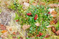 Airela Arbustos de bagas maduras da floresta Foto de Stock