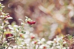 Airela Arbustos de bagas maduras da floresta Fotografia de Stock
