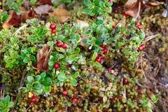 Airela Arbustos de bagas maduras da floresta Imagem de Stock Royalty Free