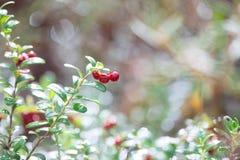 Airela Arbustos de bagas maduras da floresta Fotos de Stock