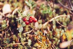 Airela Arbustos de bagas maduras da floresta Imagem de Stock